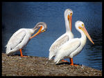Title: Three Pelicans