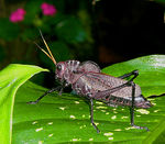 Title: Giant Red-winged Grasshopper