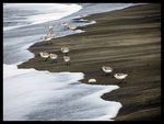 Title: Sanderlings