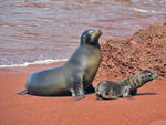 Title: Galapagos Sea Lions