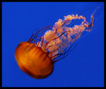 Title: Black Sea Nettle