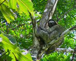 Title: Three-toed Sloth
