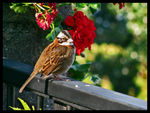 Title: Rufous Collared Sparrow