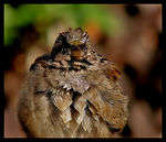 Title: Puffball Sparrow