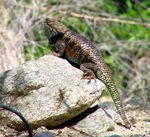 Title: Spiny Desert LizardCanon Powershot S1-IS