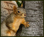 Title: Fox Squirrel
