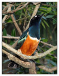 Title: Superb Starling