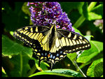 Title: Common Yellow Swallowtail