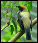 Title: Burnished-buff Tanager