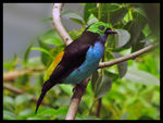 Title: Paradise Tanager