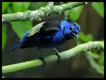 Title: Turquoise Tanager