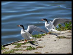 Title: Common Terns