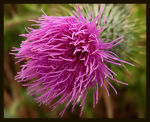 Title: Thistle Bloom