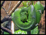 Title: Emerald Tree Boa