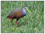 Title: Grey Necked Wood Rail