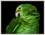 Title: Yellow-crowned Amazon Parrot