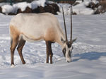 Title: Arabian Oryx in the snow
