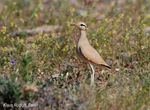 Title: Cream-coloured Courser