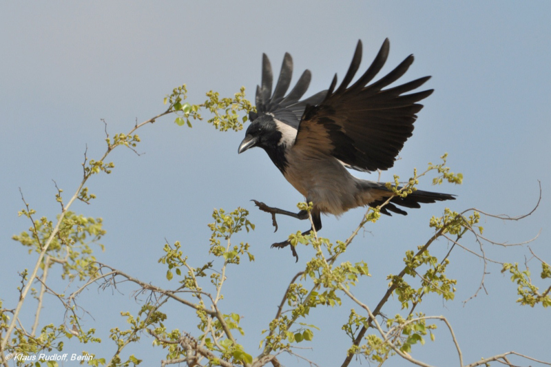 Landing Hooded Crow