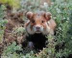 Title: Common Hamster - Cricetus cricetus