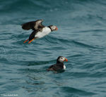 Title: Crossing Puffins