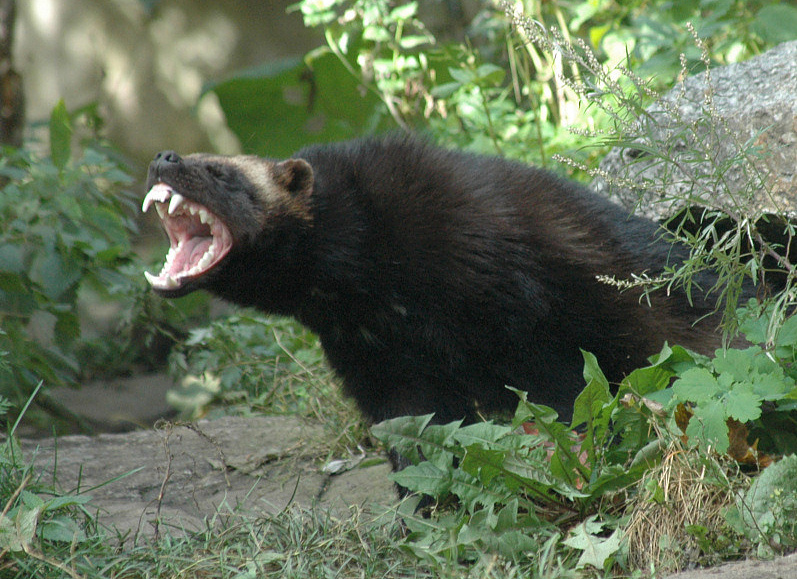 The Wolverine shows its powerful bit