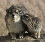 Title: Yellow-spotted Hyrax mother with young