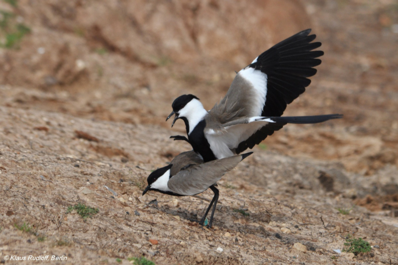 Mating Spur-winged Plovers