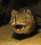 Title: Gaping Short-eared Elephant-shrew