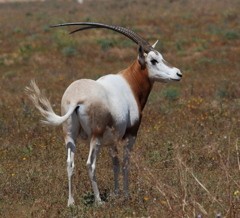 Scimitar-horned Oryx bull