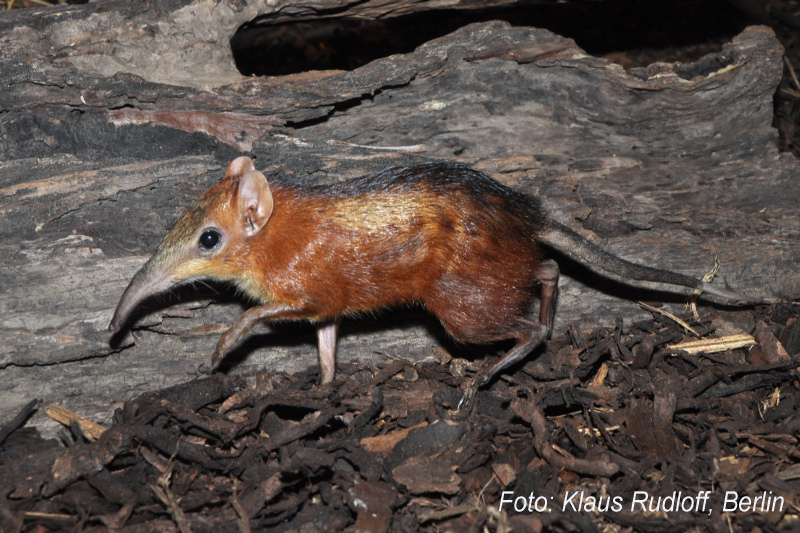 Checkered Sengi or Giant Elephant-shrew