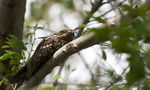 Title: European Nightjar