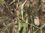 Title: Common Redstart