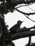 Title: Three-toed Woodpecker