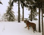 Title: The Tiger and the Snow