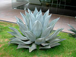 Title: Agave