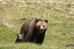 Title: grizzly bear and cub