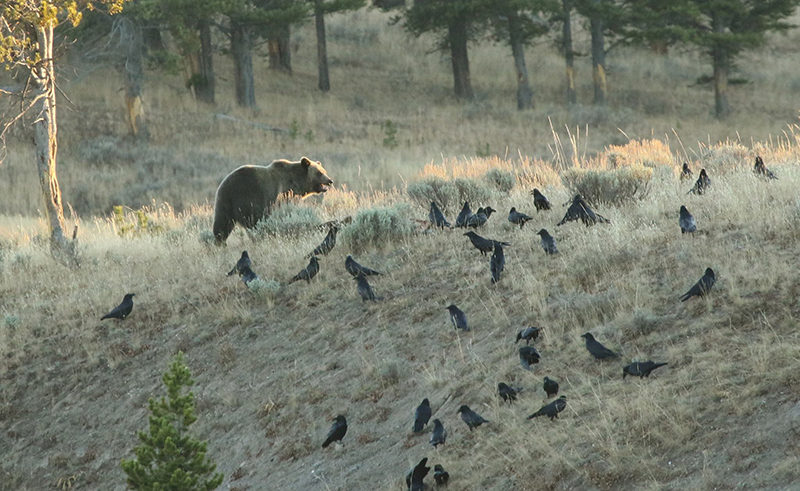 Grizzly bear vs crows