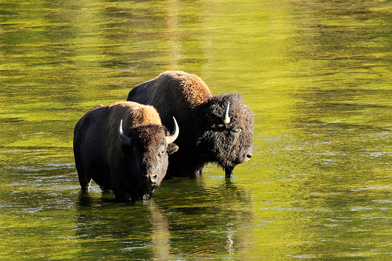 Buffalos in Yellowstone River