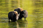 Title: Buffalos in Yellowstone River