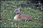 Title: baby goose