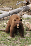 Title: Young black bear