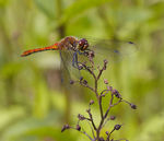 Title: Dragonfly