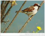 Title: spring sparrow