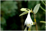 Title: Orchids from Sikkim