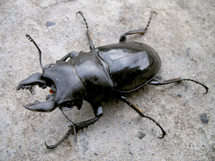 Treknature large clawed beetle like insect photo large clawed beetle like insect sciox Images