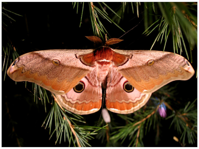 Large Bright Moth - Emperor Gum Moth