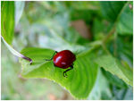 Title: Beetle that sings another tune