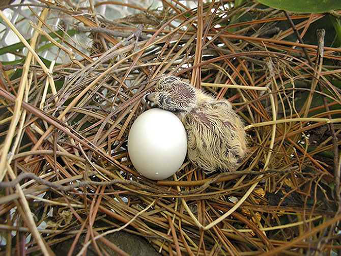 Baby Dove and egg