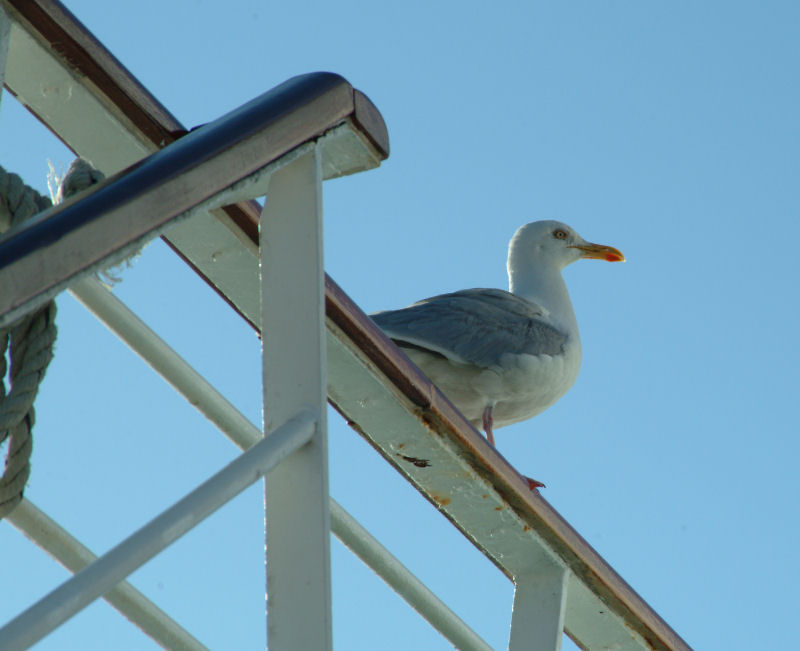 Seagull Perched on ship railing